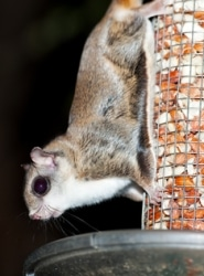 Squirrel & Flying Squirrel Removal