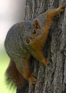 Squirrel & Flying Squirrel Removal
